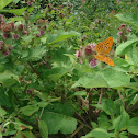Silver-washed fritillary