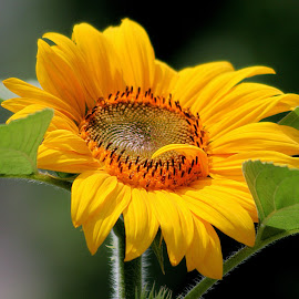Majestic by Sherri Woodbridge - Flowers Single Flower ( blooming, sunny, sunflower, sunshine, yellow, flowers, garden, sun )