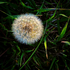 Temporary perfection by Steve Outing - Instagram & Mobile iPhone ( dandelion, grass, weed, closeup, flower,  )