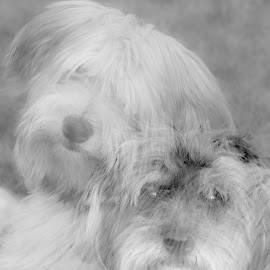 by Sam.simon@ipacc.com Sam.simon@ipacc.com - Animals - Dogs Portraits