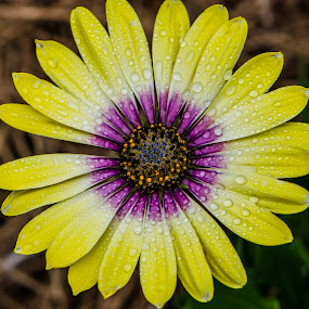 by Jennifer Tsang - Flowers Single Flower ( plant, purple, nature, yellow, waterdrops, flower, color )
