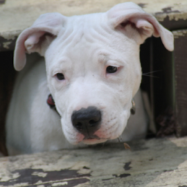 Hmmm, What To Do Next? by Ellee Neilands - Animals - Dogs Puppies ( canine, pet, pitbull, puppy, pibble, dog )