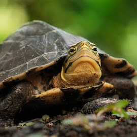 turtle2 by R Dody Shahputra - Animals Reptiles ( animals, nature, other animal, turtles )