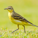 Female Blue-headed Wagtail