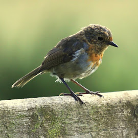 Robin by Chris Mcgurgan - Novices Only Wildlife
