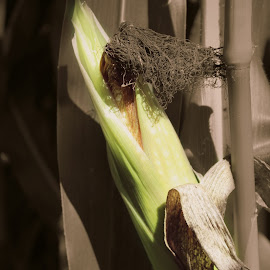 Lonely Harvest by Sheena Aston - Food & Drink Fruits & Vegetables ( corn stalk, ear of corn, corn maze, corn on the cob, harvest, corn )