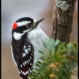 Male Downey Woodpecker by Sue Matsunaga - Novices Only Wildlife