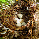 Nest and Eggs of Long Tailed Shrike