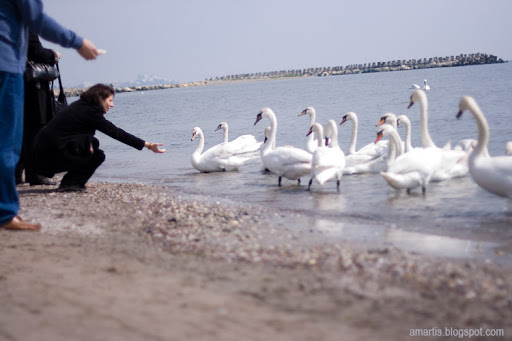 swans mangalia people feeding