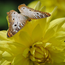 Yellow and Gold by Richard Rabitaille - Nature Up Close Gardens & Produce ( butterfly flower yellow gold white,  )