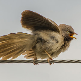 Angry Bird by KP Singh - Animals Birds ( bird, punjab, jungle babbler, angry, ludhiana )