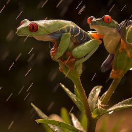 Raining by Kutub Macro-man - Animals Amphibians ( nature, amphibians, close-up, red eye tre frog, animal )