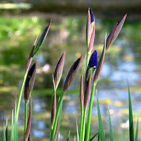 Wild Iris, Blue Flag by Patti Hobbs - Flowers Flowers in the Wild ( flowers wild wild iris blue flag )
