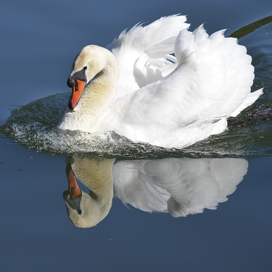 Swan Reflection by Ed Hanson - Animals Birds ( water, reflection, blue, white, swan )
