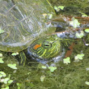 Baby red-eared slider