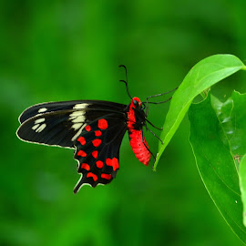 Crimson Rose by Abinav Shankar - Animals Insects & Spiders ( butterflies, bitterfly, insects, swallowtail, crimson rose )
