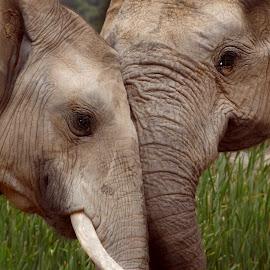 Elephant Affection by Gail Camons Erasmus - Animals Other Mammals ( elephants, wildlife )