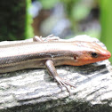 American Five-lined Skink (adult male)