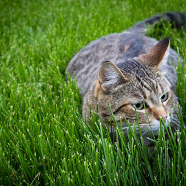 Church Cat by Sean Camp - Animals - Cats Portraits ( cats, animals, cat, nature, outdoors )