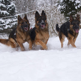 The Three Musketeers by Kira Brita - Animals - Dogs Running