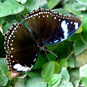 Great Eggfly or Blue Moon Butterfly (Female)
