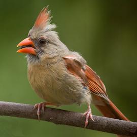 Up Close by Janet Lyle - Animals Birds ( cardinal, wildlife, birds )