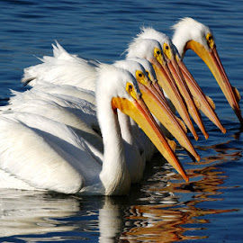 White Pelicans Chorus line by Richard Duerksen - Animals Birds ( chorus line, white pelicans )