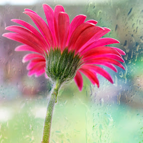 Gerbara  by Linda Boyer - Flowers Single Flower ( single, nature, gerbara, glass, pink, rain, flower )