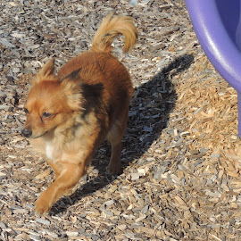 this chiweenie doesn't slide  by  a Elizabeth LOWREY Crall - Animals - Dogs Running (  )