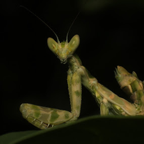 Flower Mantis.. !! by Gokul Rajenan - Animals Insects & Spiders ( mantis blackbackground leaves )