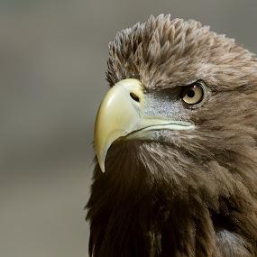 White Tailed Sea Eagle by Mike Hawkwind - Animals Birds ( uk, blair drummond, animals, eagle, white tailed sea, birds, raptors )