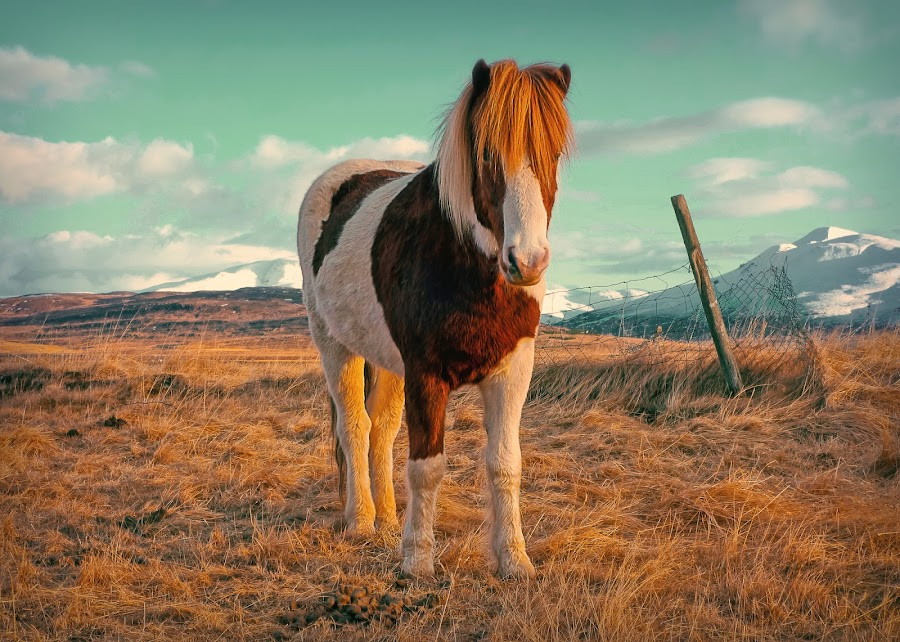 A horse with no name by Kristján Karlsson - Animals Horses