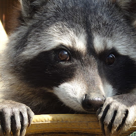 Relaxing Raccoon by Alan Raisman - Animals Other Mammals ( racoon, zoo, white, nails, black, animal )