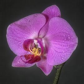 Phalaenopsis Orchid by Steve Dormer - Flowers Single Flower