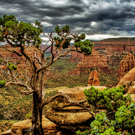 Twisted  Tree by Terry Ricks - Nature Up Close Trees & Bushes ( sky brown, tree, bushes, colorado national monument, colorado, rocks,  )
