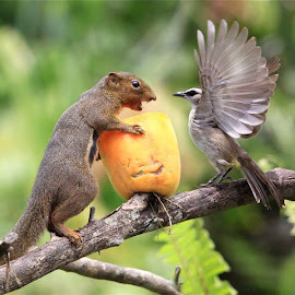 SQUIRREL, BIRD AND PAPAYA  by Rob Taylor - Animals Birds ( squirrel )