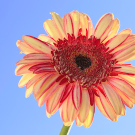 Reaching for the Sky by Lee Jorgensen - Nature Up Close Gardens & Produce ( macro, garden, dahlia, close-up, flower )