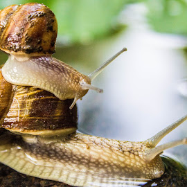A snail, two snails by Daniel MV - Animals Other ( water, colors, leaf, snail )