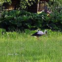 White Stork, Bocian biały