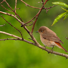 Colirrojo real (Common Redstart)