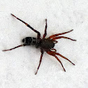 Ground Spider