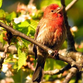 House Finch by Patti Hobbs - Animals Birds ( animals birds house finch cherry tree )