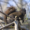 Eastern Gray Squirrel, female, melanistic