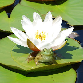 His Majesty by Susan Zsoka - Animals Amphibians ( water, frog, green, nature up close, lily pads )