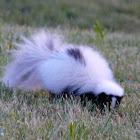 Leucitic striped skunk
