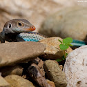 Blue-tailed Ameiva