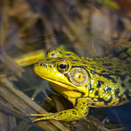 by Josee Roy - Animals Amphibians ( frogs, amphibians,  )