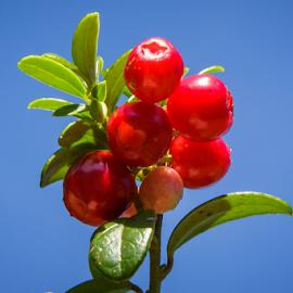 Vaccinium macrocarpon by Stanislav Horacek - Food & Drink Fruits & Vegetables