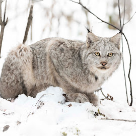 Lynx #2 by Steve Shewchuk - Animals Lions, Tigers & Big Cats