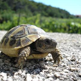 Rafael the turtle by Dajana Petković - Animals Other ( ninja turtle, turtle, close up, sunbathing, animal )